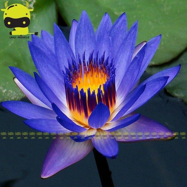 Tahmini teslimat zaman hint koyu mavi su zambak tohum 1 tohumlarpaketi mix renk lotus flower mightylinksfo