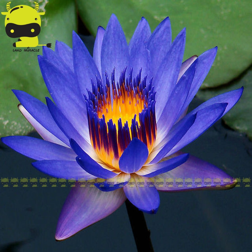 Indian Dark Blue Water Lily Seed 1 Seedspack Mix Color Lotus