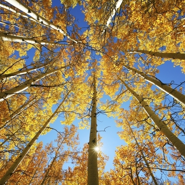 Colorado  Near Steamboat Springs  Buffalo Pass  Yellow Aspen Tree Canopy. Poster Print (34 x 22)