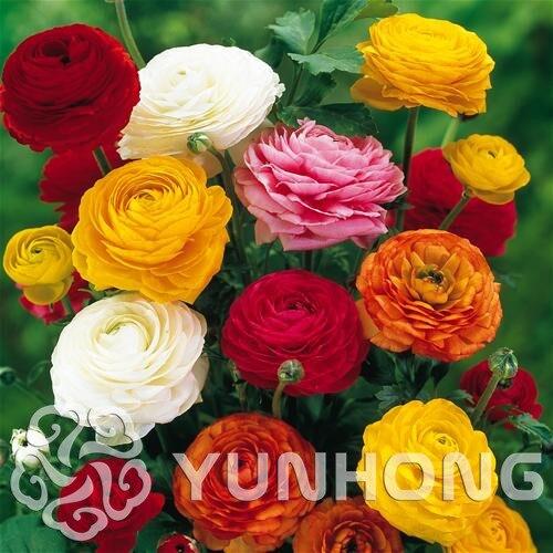 HOT 100PCS Ranunculus asiaticus Flower bonsai For Home & Garden DIY Plants Persian Buttercup plant Flower Bulbs Free Shipping