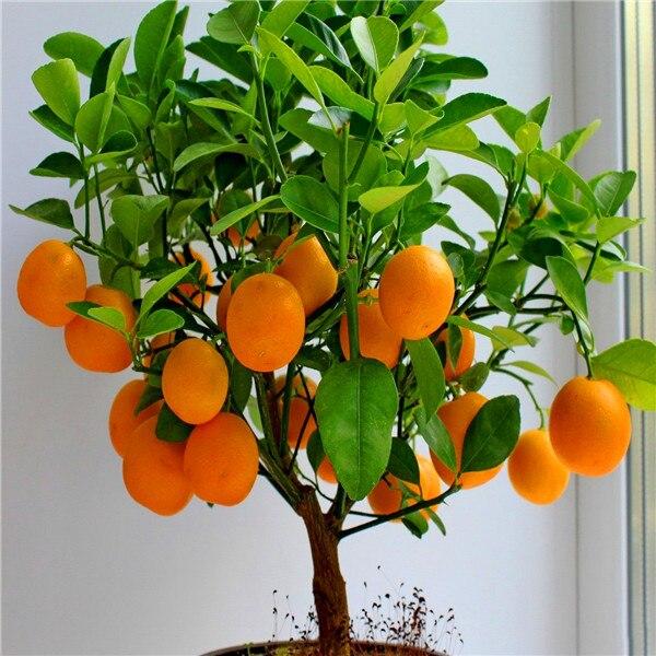 rbol de los bonsai semillas de frutas semillas de naranjo enano de pie planta de interior