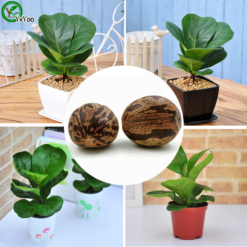 Seeds bonsai rubber tree seeds home garden plants interior for Easy to grow outdoor plants