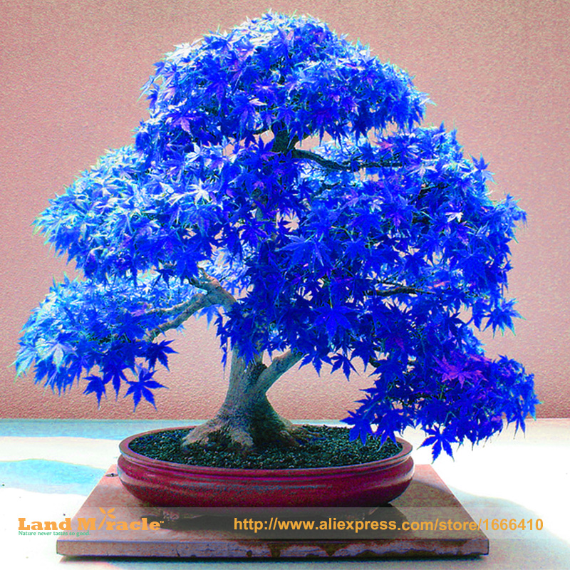 100% Real Japanese Ghost Blue Maple Tree Bonsai Seeds, 10 Seeds/Pack,