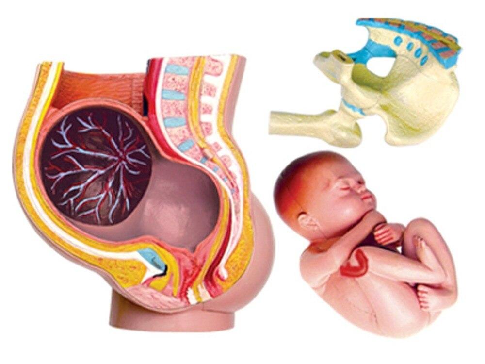 Pelvis embarazo humano modelo anatómico con dentadura dientes ...
