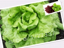 100 Lettuce seeds taste good, easy to grow, the best companion salad, nutritious and delicious vegetable plants at home DIY