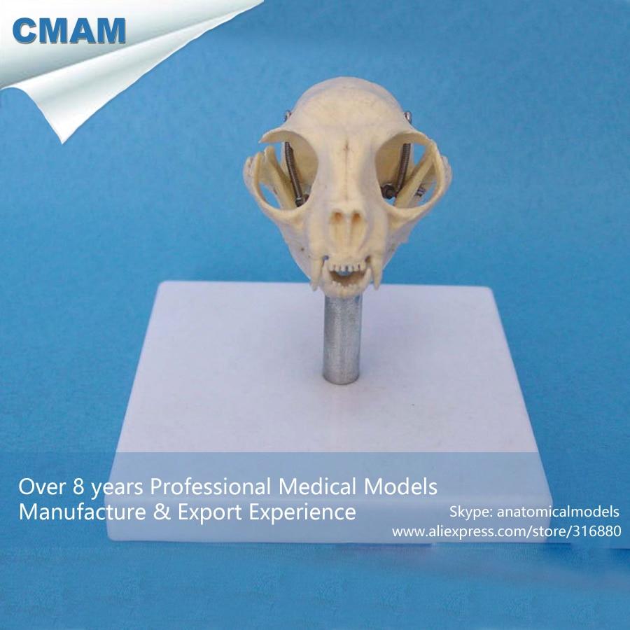 CMAM A26 Cat Skull Anatomical Model w/ Plastic Stand Medical ...