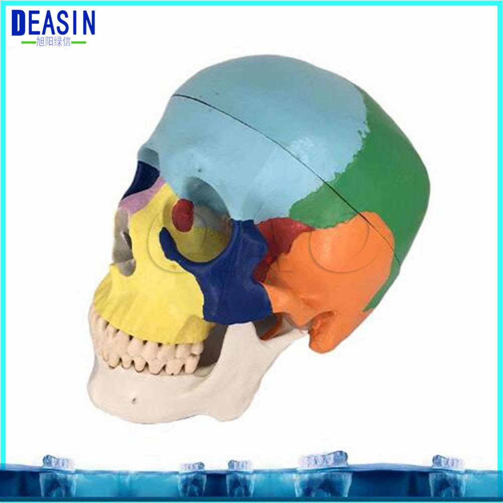 Skull model extraoral model dental tooth teeth dentist anatomical anatomy model odontologia free shipping skull model 10 1 extraoral model dental tooth teeth dentist anatomical anatomy model odontologia
