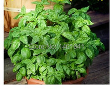 50pcs Vanilla seeds Basil seeds Sweet sweet basil The kitchen is vanilla flower seeds] strong aroma Aromatic repel mosquitoes