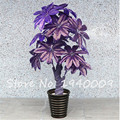 5 PCS money tree seeds mini pachira bonsai seeds for garden plant and home decoration ,give you good luck and wealth
