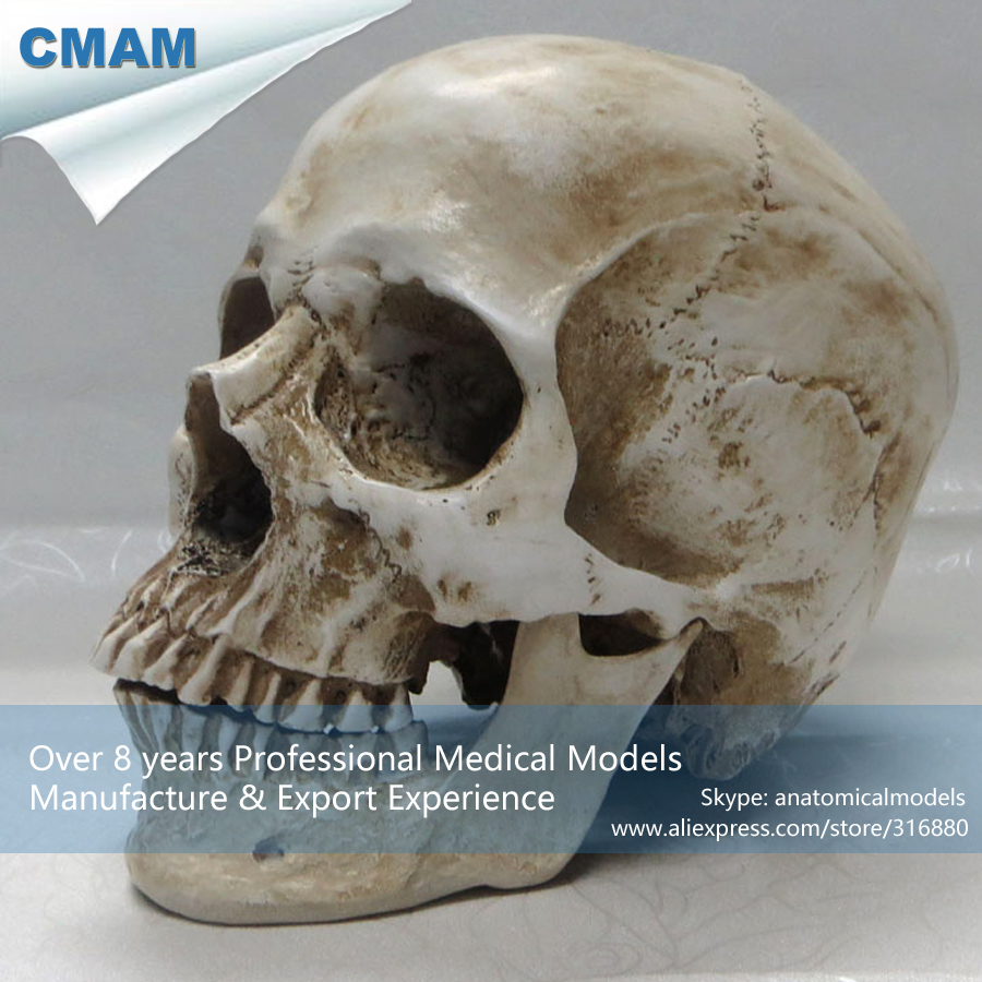 ФОТО CMAM-PRC12 Life Size High Simulation Antique Design Plastic Anatomical Human Skull Bone Model