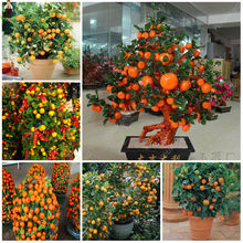 20 Pcs Bonsai Orange Mini Balkon Teras Pot China Memanjat Tanaman Abadi Pohon Segar Lezat Juicy Buah Kumquat Mudah Tumbuh(China)