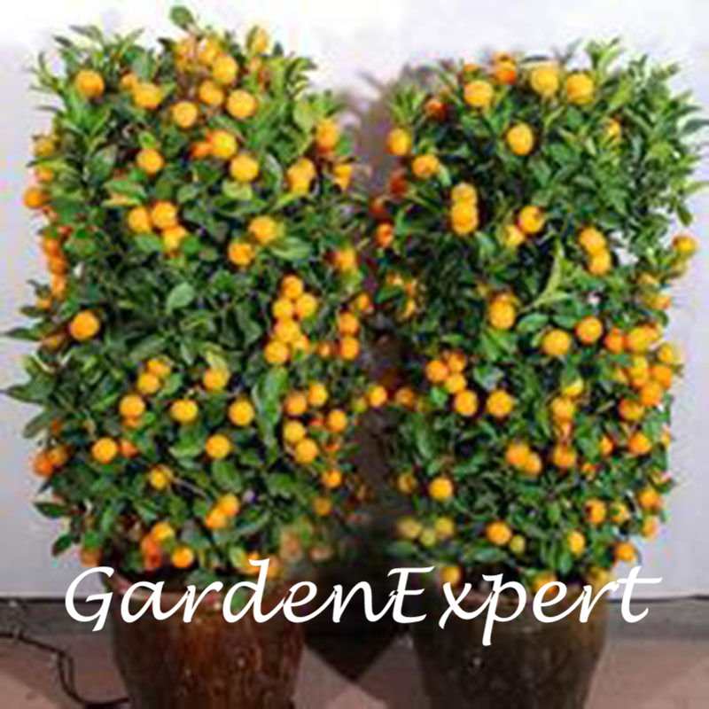 40 pcs Bonsai Orange Tree Seeds Organic Fruit Tree Seeds For flower pot planters very big and delicious