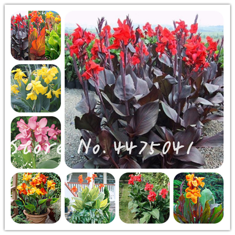 Perennial 3 Red King Canna Lily Bulb Stunning Flower Tropical Giant Bonsai Plant