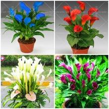100pcs Bonsai Colorful Calla Lily flower (not bulbs)Bonsai Rare Plants Flowers plants,Flowers For Home & Garden easy to grow