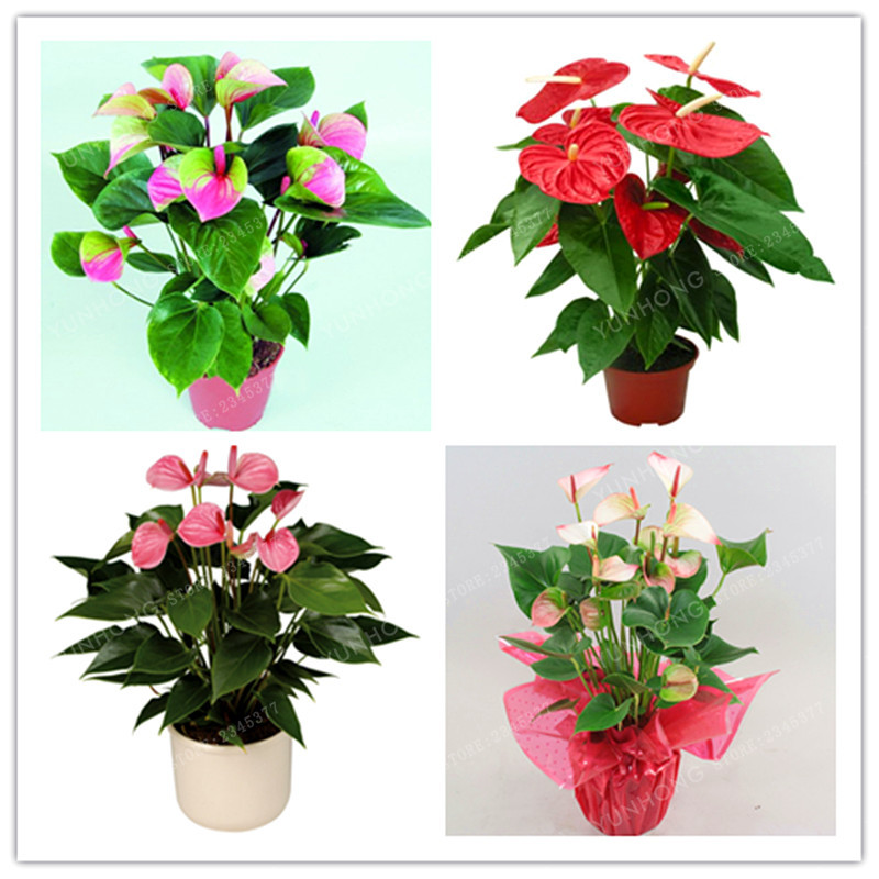 100 PCS Rare Flower Seeds Pink Green Anthurium Andraeanu Seeds Balcony Potted Flower Seeds For DIY Home Garden
