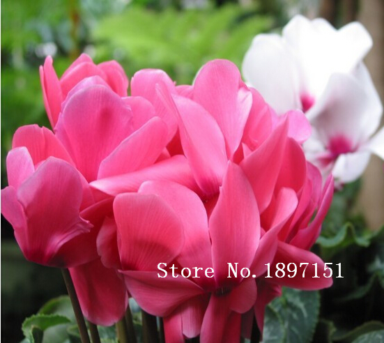 Big Sale Free Shipping Cyclamen   100 Seeds Flower Seeds For Plant Seed For  DIY Home Garden Indoor Plant