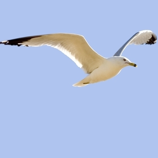 Seagull In Flight Poster Print (38 x 20)