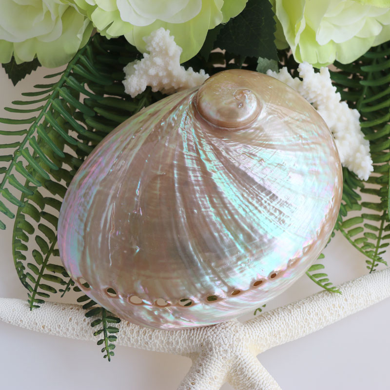 Free Shipping(2pcs/lot)Australian White Abalone Shell Natural Shell&Conch Home Decoration Sea Beach Wedding Landscape Decoration