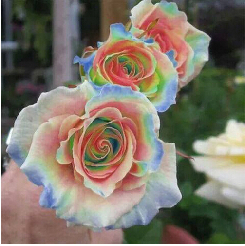 Rainbow Rose Seeds Rare Flower Seeds Garden Balcony Patio Scarce Bonsai  Potted Plants 100PCS 2017(