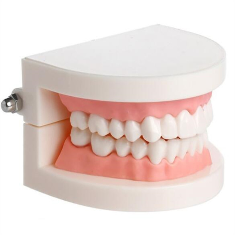 Dental Model Small Tooth Mold Dental Supplies Kindergarten Tooth Brushing Teachin G Model Medical Sciencel