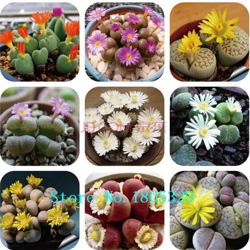 100 Rare Mix Lithops Seeds Living Stones Succulent Cactus Organic Garden  Bulk Flower Seeds