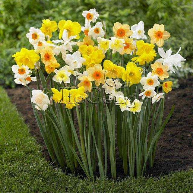 Bulbos de narcisos tama o del bulbo 12 cm env o - Bulbos de otono ...