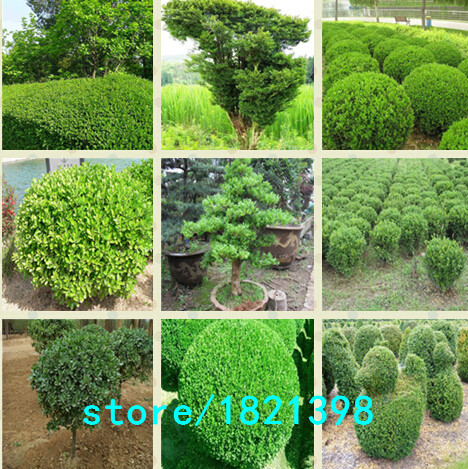 Hot selling 100pcs/lot Buxus sinica,Chinese boxwood seed bonsai plant DIY home garden free shipping