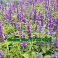 Sementes reais, 200 pçs/lote Sementes de Chia, Salvia hispanica, erva, Perda de peso da planta bonsai DIY início jardim frete grátis #2011
