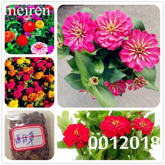 1000 pz 100% Genuino Misto Zinnia bonsais Seedss Abbastanza Colori Pastello Fiore pianta bonsai per la casa giardino, fiori piantina