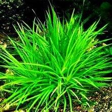 100pcs/bag water plants seeds Mini Dwarf Pearl Plants Aquarium Grass Seed Fish Tank Ornamental Aquatic water grass