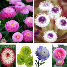 African Blue Eyed Daisy bonsai Osteospermum flower Cape Mix Flower Heirloom 100 Pcs Family Potted Plants DIY Home & Garden(China)