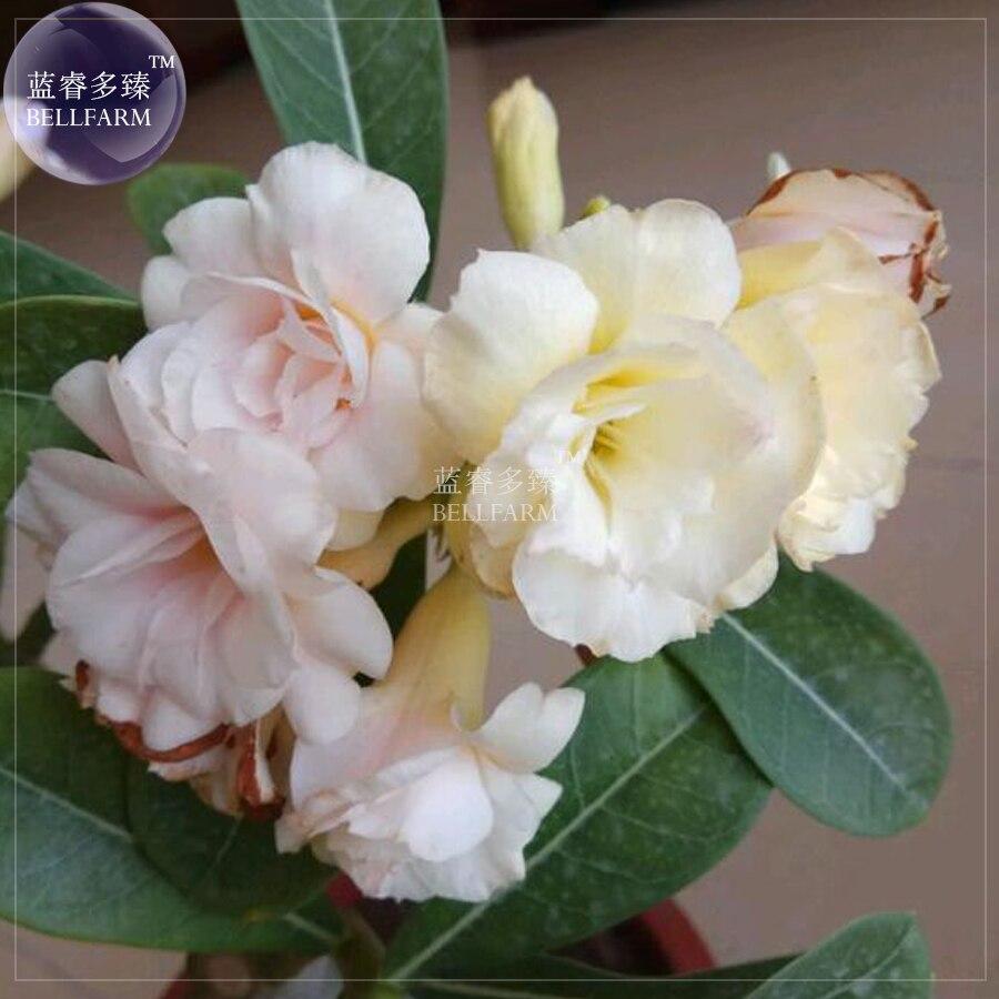 Bellfarm Bonsai Adenium Light Pink Mikly White Milky Yellow