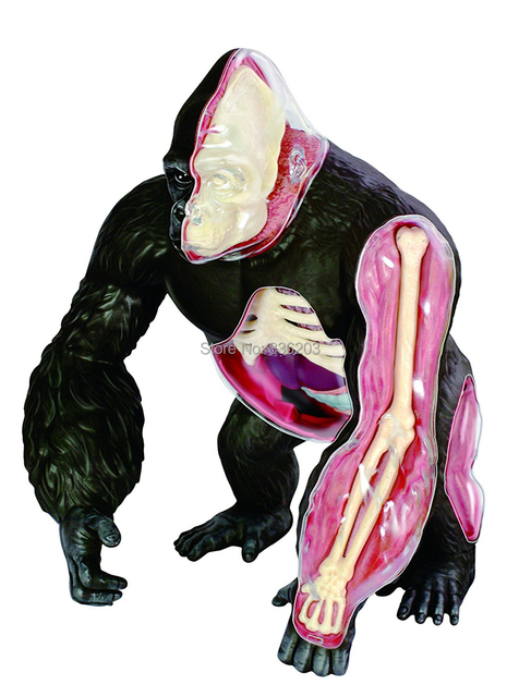 4D VISION gorilla ANATOMY MODEL medical Assembled Animal Anatomy ...