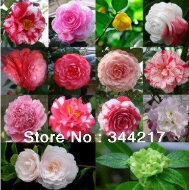 Four seasons type camellia flowers bonsai trees camellia seedlings four seasons type camellia flowers bonsai trees camellia seedlings multicolor camellia mightylinksfo