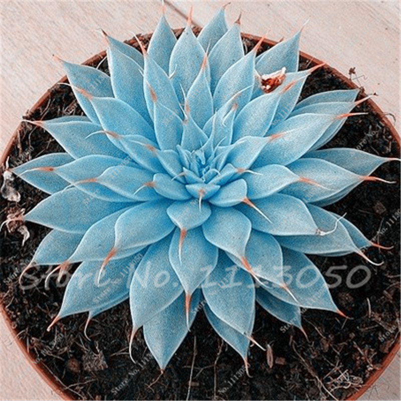 100 unids mixed lithops semillas suculentas semillas de cactus de piedra cruda tallos - Semillas de interior ...