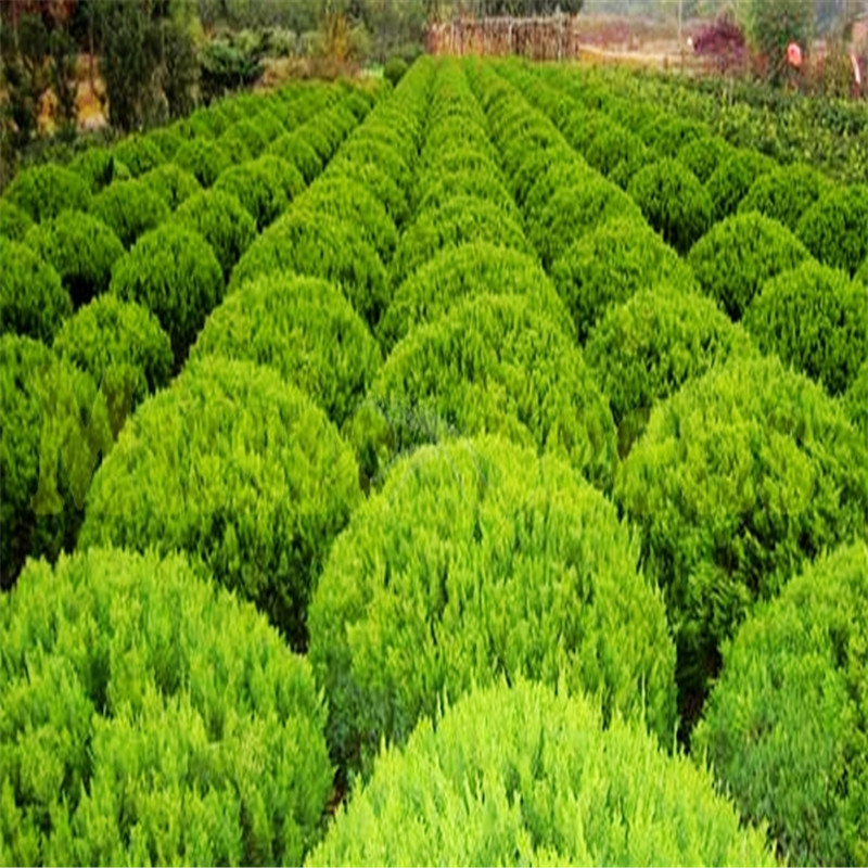 Exotic Juniper Balls Bonsai Tree Outdoor Perennial Potted Plant For Home Garden Pot Absorb Harmful Air 20 PCS In High Quality