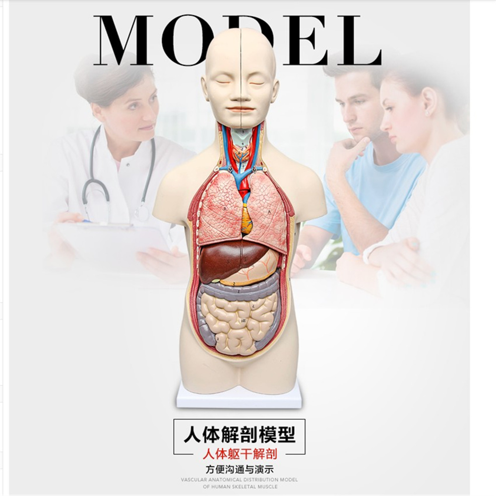 50 cm 3D Anatomia Humana modelo torso Humano Assembléia Modelo ...