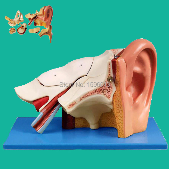 Ear Anatomical Model, Advanced Three times Ear Model, Ear structure model ear anatomical model anatomic model labyrinth inner ear vestibular enlargement ear structure model gasen ebh006