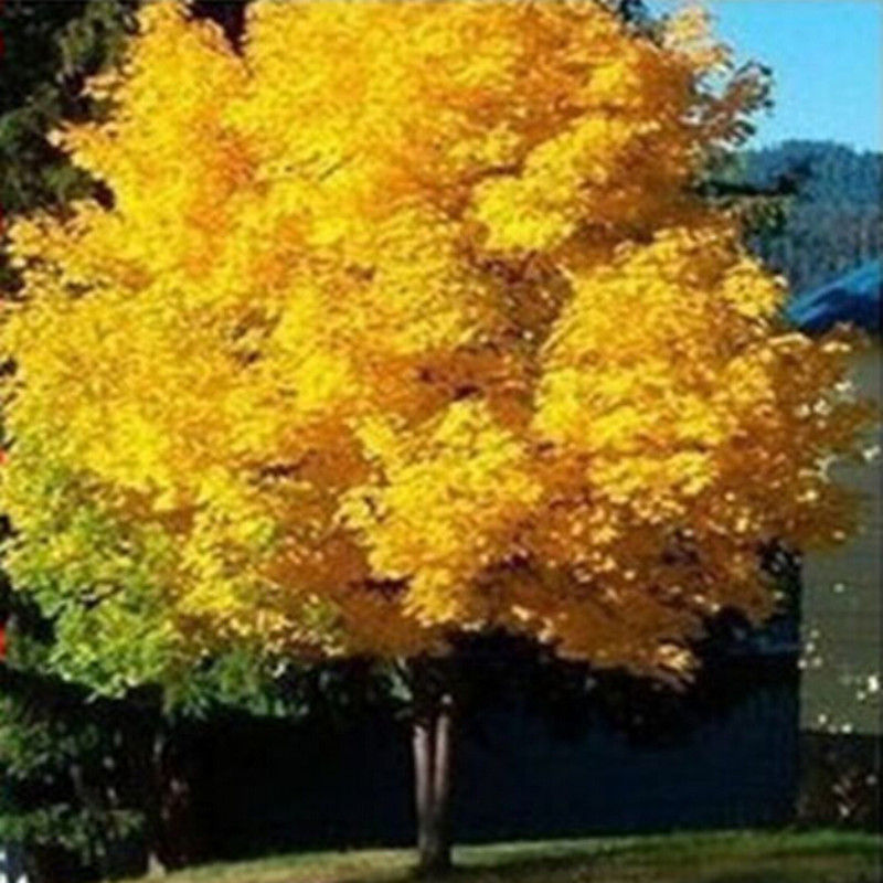 10pcs pack yellow maple tree live seed home garden norway maple gold tree seeds good bonsai for Country garden 6 pack