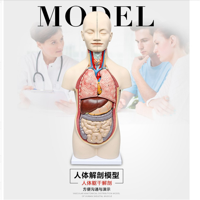 50cm 3d Human Anatomy Model Human Torso Assembly Model Visceral