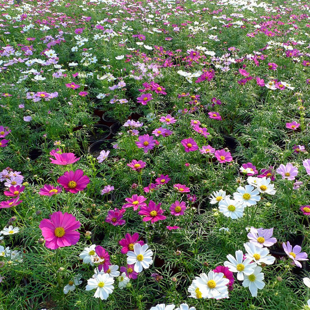 Aliexpress buy free shipping authentic dwarf cosmos flower free shipping authentic dwarf cosmos flower seeds rare color new arrival diy home garden flower plant mightylinksfo