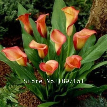 Big sale burpee perfume Lily Seeds flower seeds Germination 99% Cheap Flower seed creepers bonsai garden supplies 100pcs
