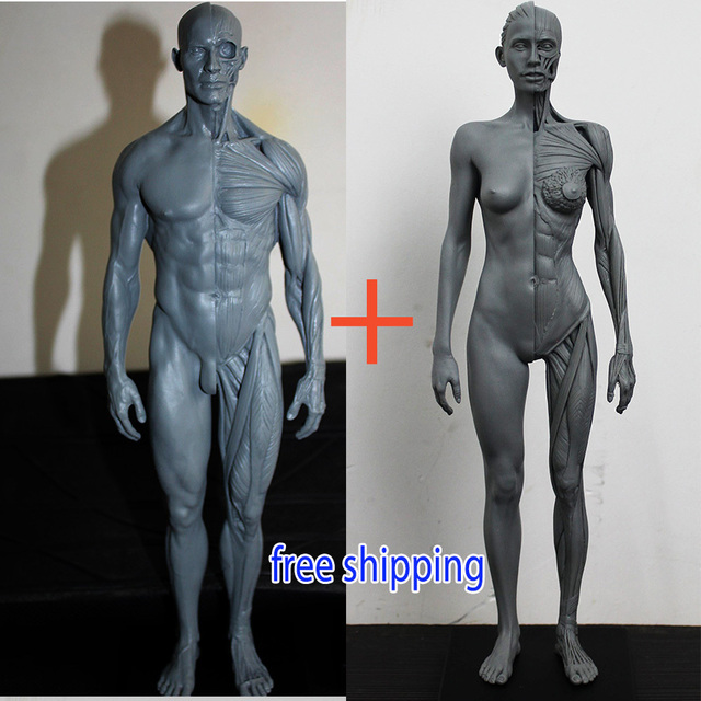 30cm 1:6 human body anatomy model cg 3Dmax model teaching model ...