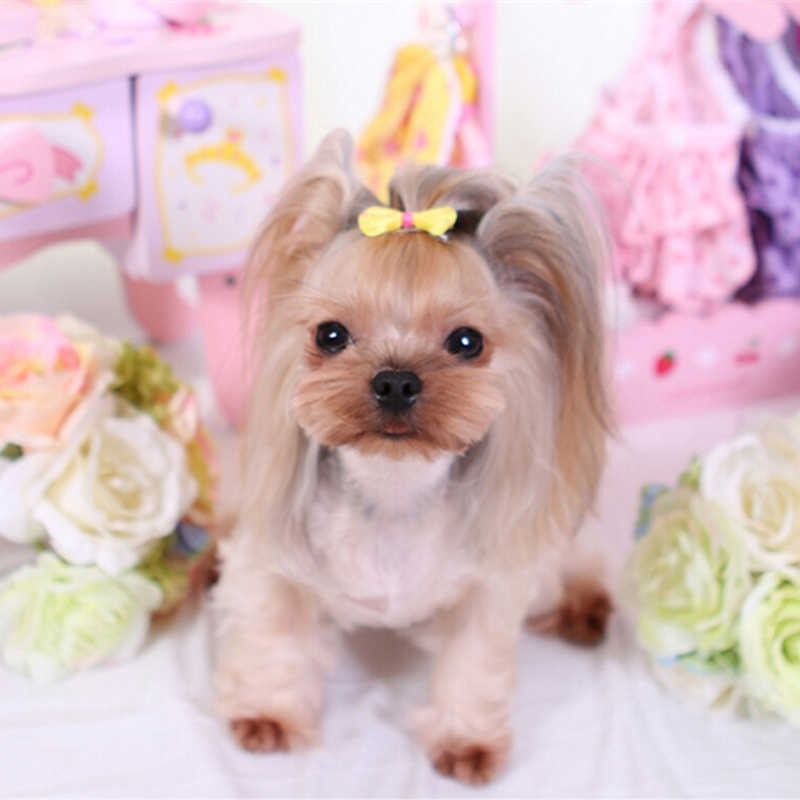 Detail Feedback Questions About Yorkshire Terrier And Poodle Hair