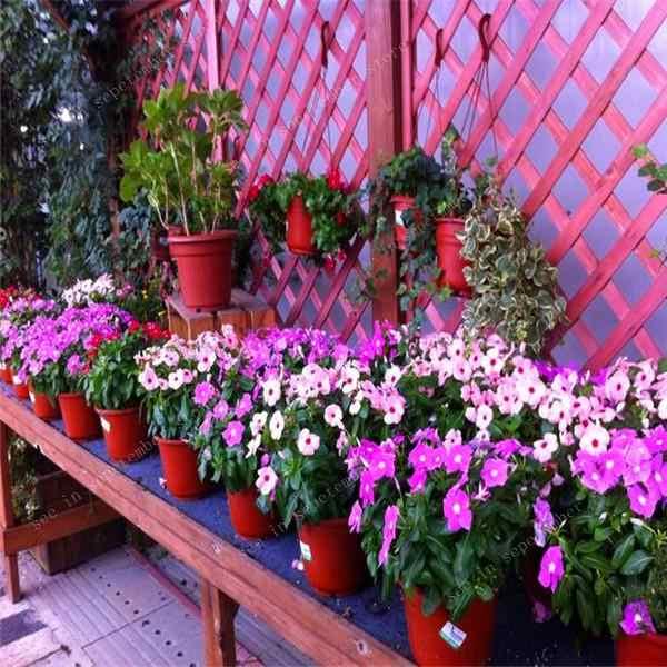 100 Pcs New Arrive Periwinkle Bonsai Flower Mix Vinca Cover Behind House Jardin Flowers Bonsai Light Up Your Personal Garden