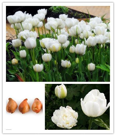 2 Bulbs True Tulip Bulbs,Tulip Flower,Tulipanes Flower Plant For Garden plants( Tulip Bonsai)Flower Bulbs Symbolizes Love
