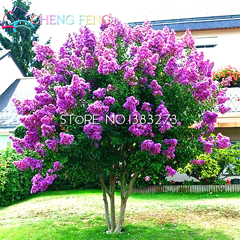 Cheap Home Plants Heirloom Seed 20 Pcs Crape Myrtle Bonsai