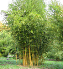 New Arrival Outdoor Plants Very Easy Happy Farm Sementes 20pcs  Phyllostachys Aureosulcata bonsai