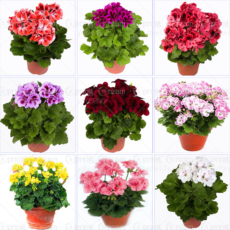 100pcs/bag geranium seeds Rare Variegated Geranium seed potted winter garden flower for bonsai plant for home garden