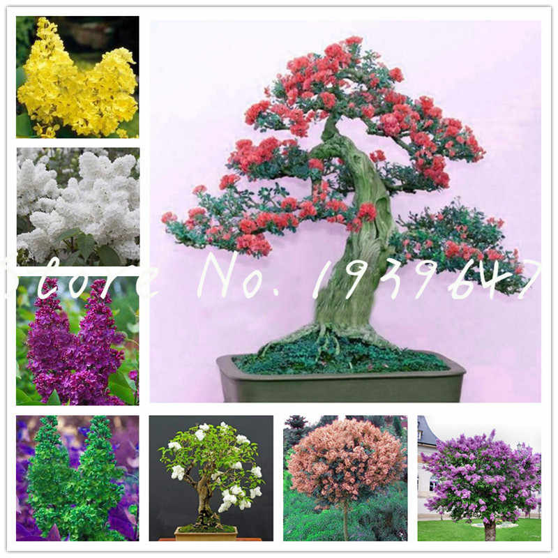 100 Pcs Mini Bonsai Lilac flower Japanese Lilac (Extremely Fragrant) Lilac Flower Tree planta, Perennial Garden Aromatic plants